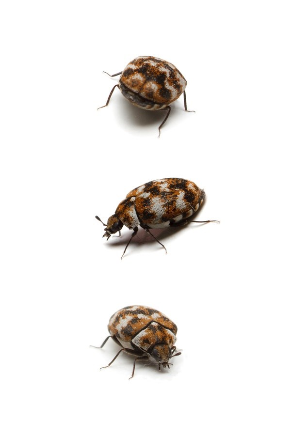 How to Get Rid of Carpet Beetles the Easy Way